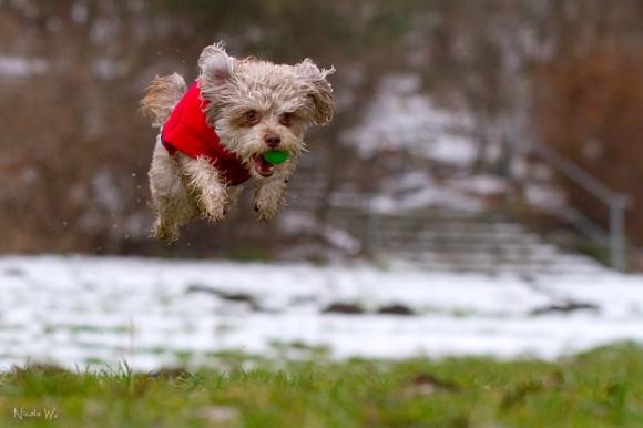 fliegender Bolonka Zwetna Hund