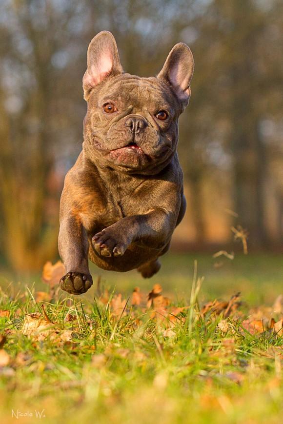 french bulldogg from the Diamond Bulldoggs-wyler